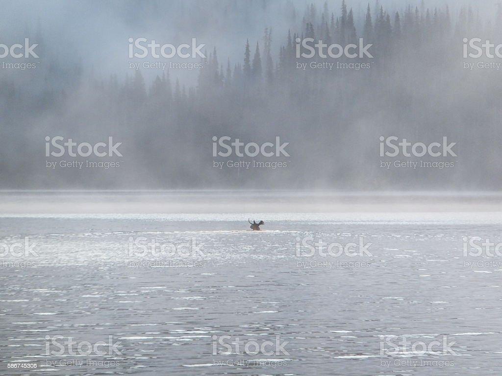 Bull moose swimming across a foggy lake stock photo