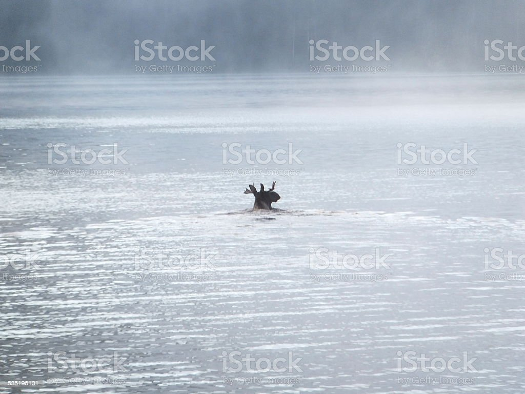 Bull moose swimming across a lake stock photo
