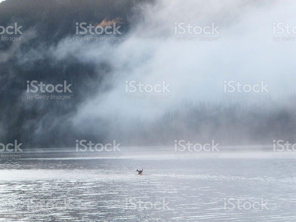 Bull moose swimming stock photo