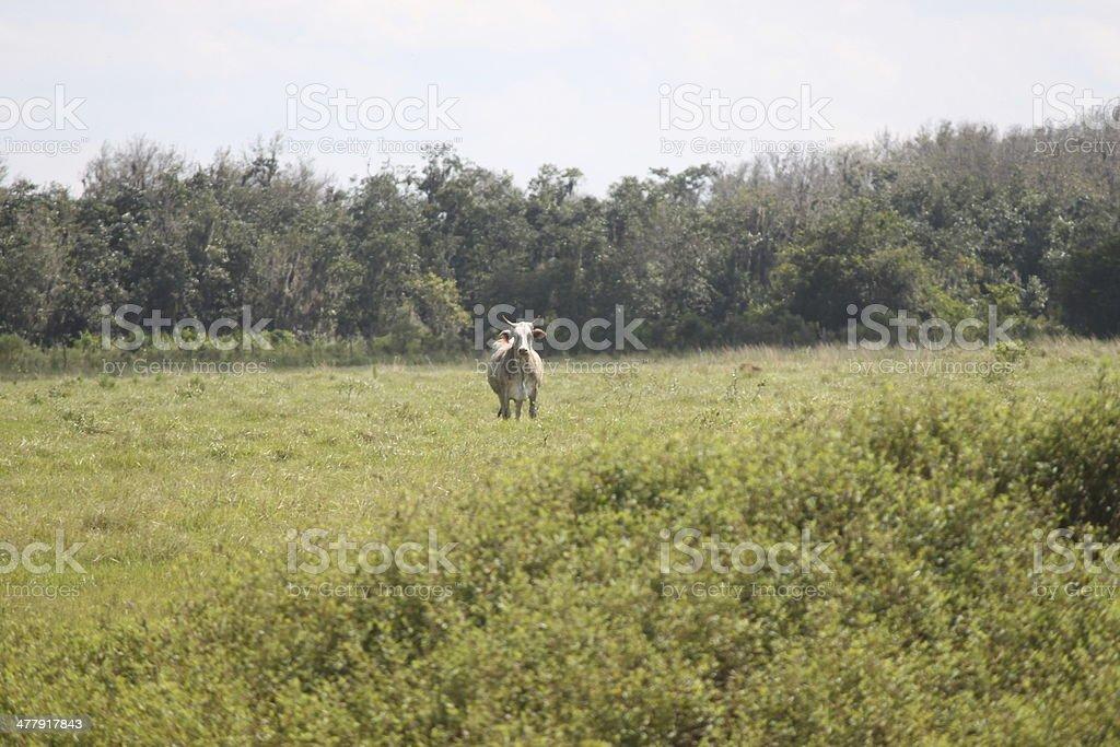 Bull on the Farm royalty-free stock photo