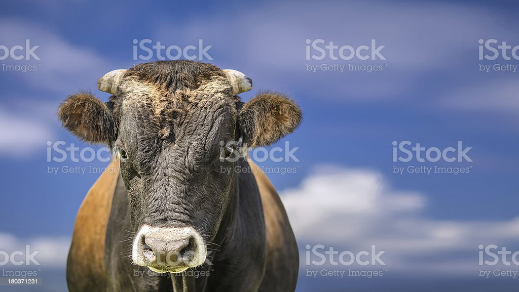 Bull or cow, blue sky and clouds. High definition image. stock photo