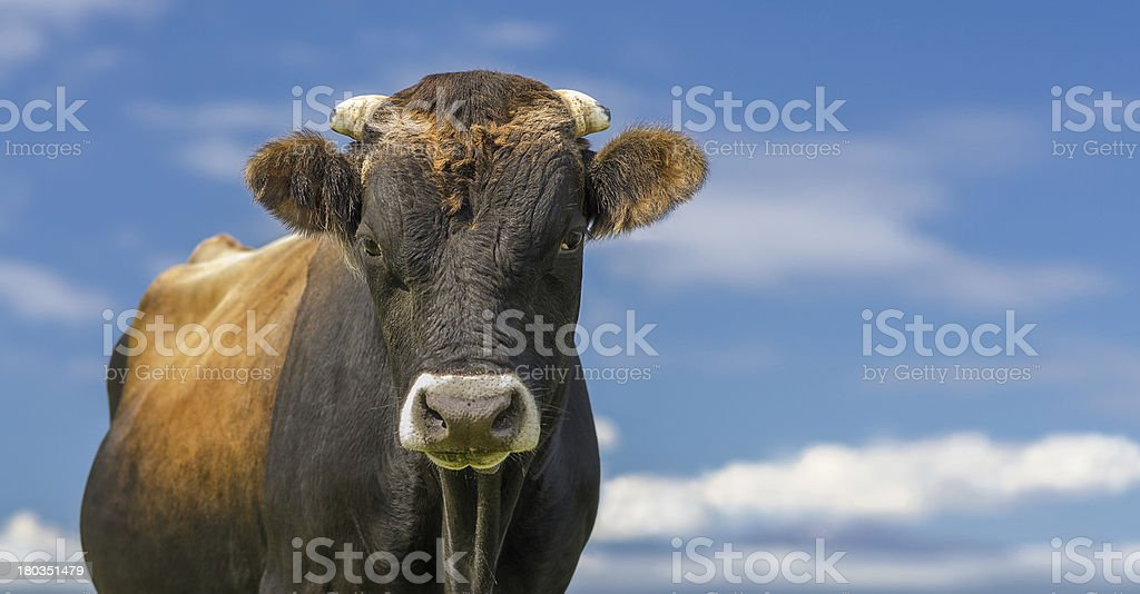 Bull or Cow, blue sky with clouds. High definition image. stock photo