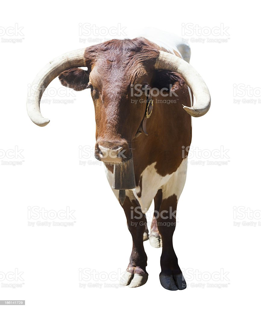 bull or cow. Isolated over white royalty-free stock photo
