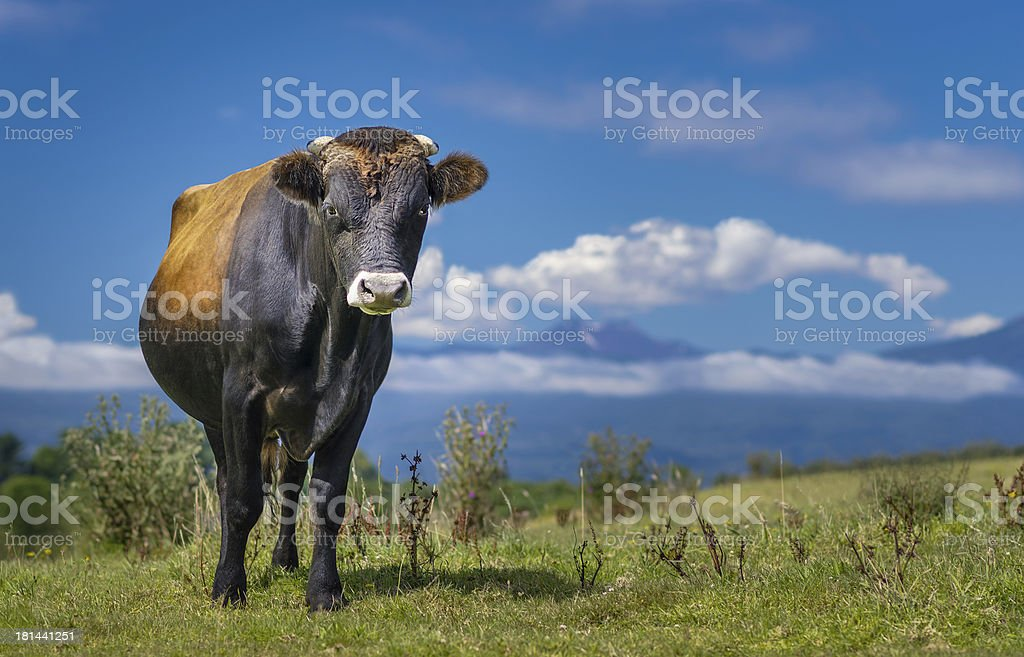 Bull or Cow standing in Patagonia. High definition image. stock photo
