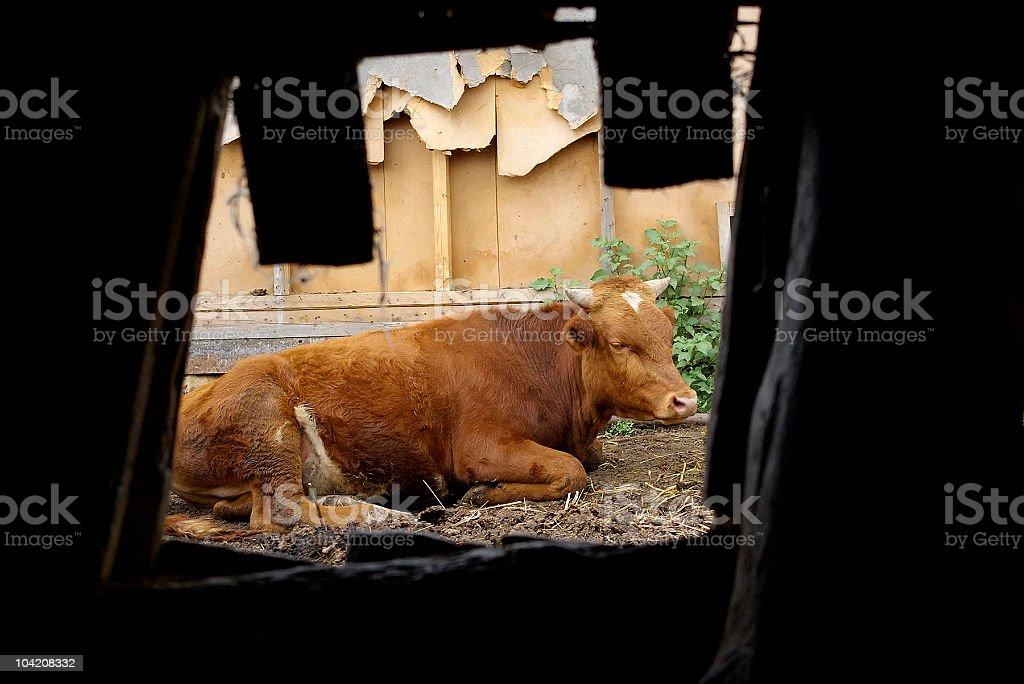 Bull. royalty-free stock photo