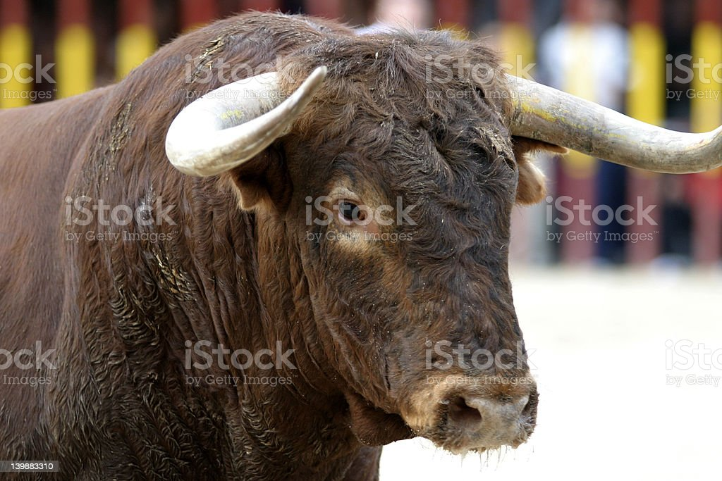 bull portrait stock photo