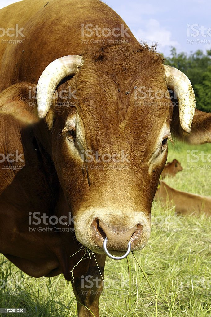 Bull Portrait royalty-free stock photo