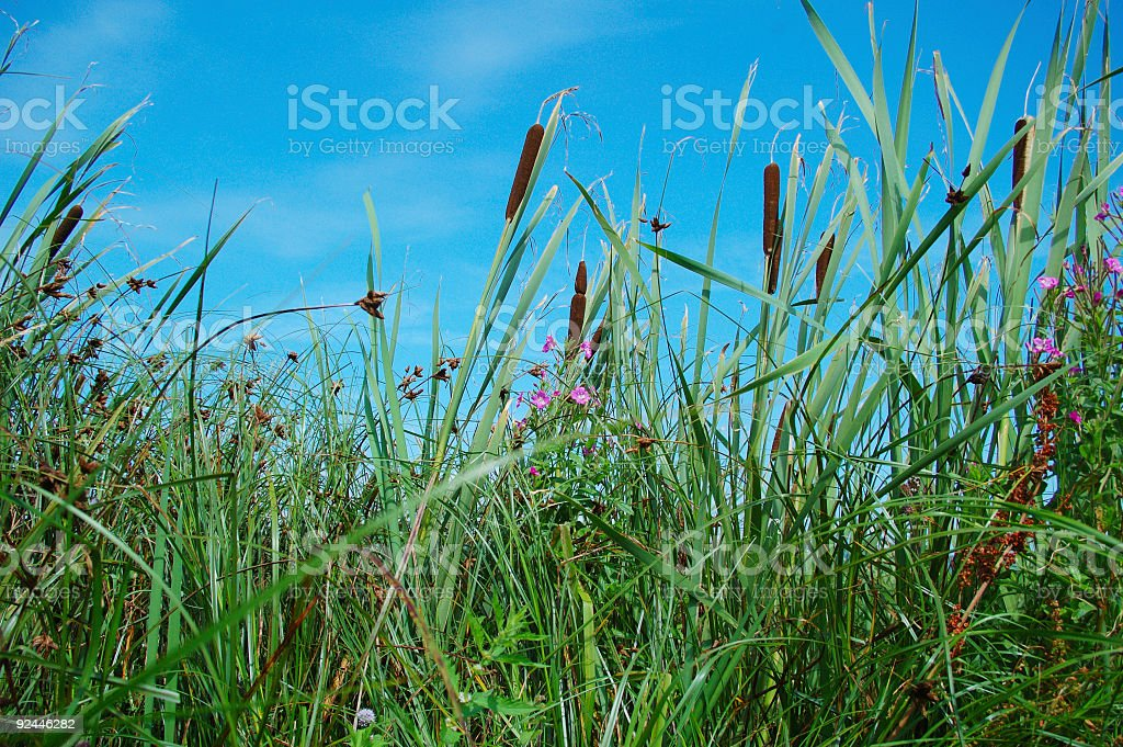 bull reeds and sky royalty-free stock photo