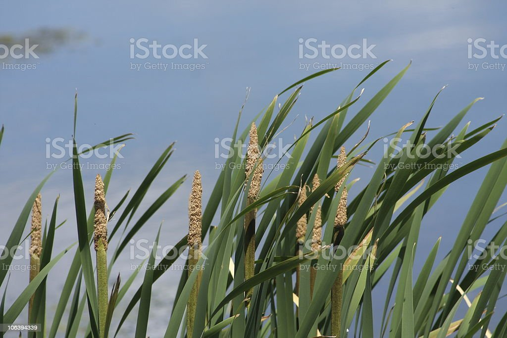 Bull rushes in the wind stock photo