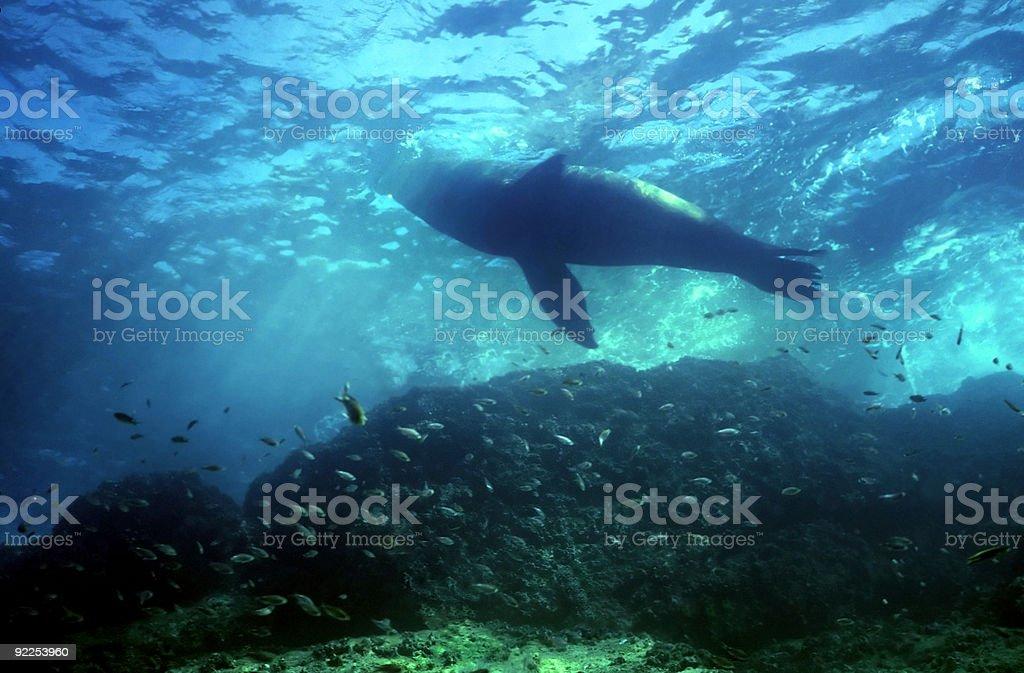 Bull Lion de mer photo libre de droits