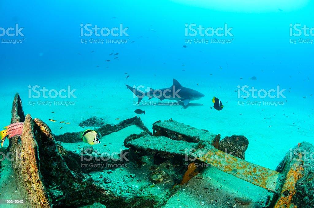 Bull shark stock photo