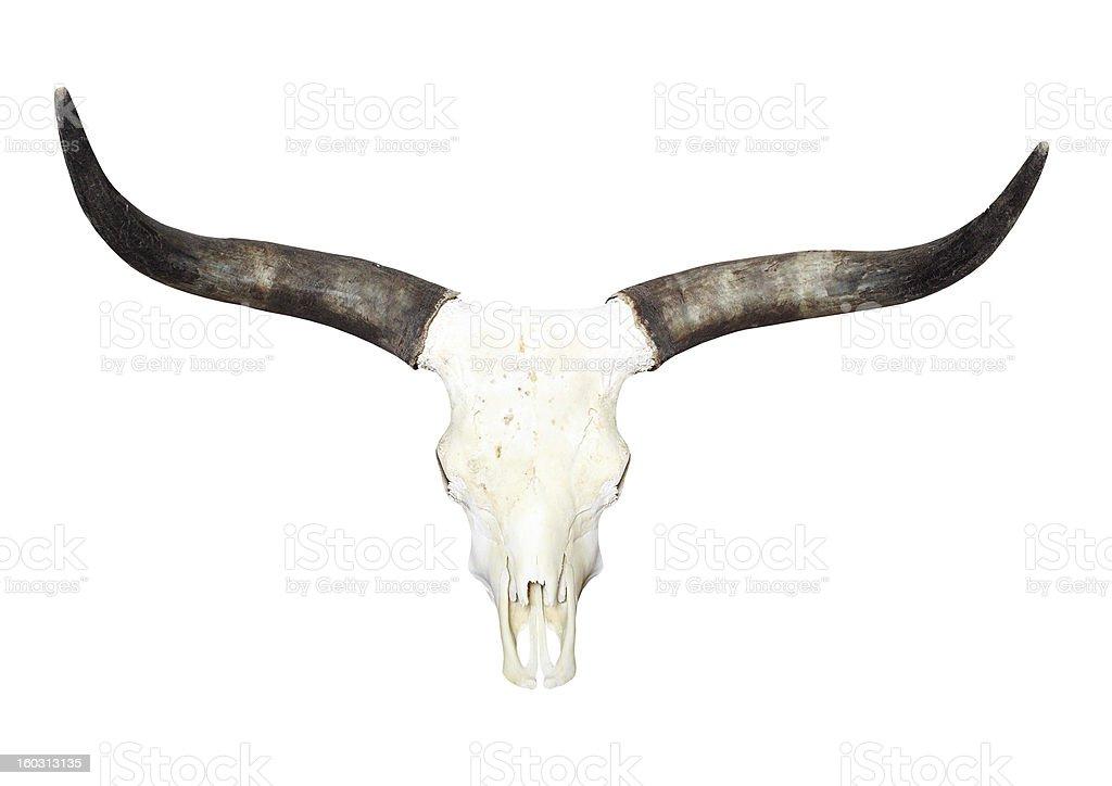 Bull skull with long horns. stock photo