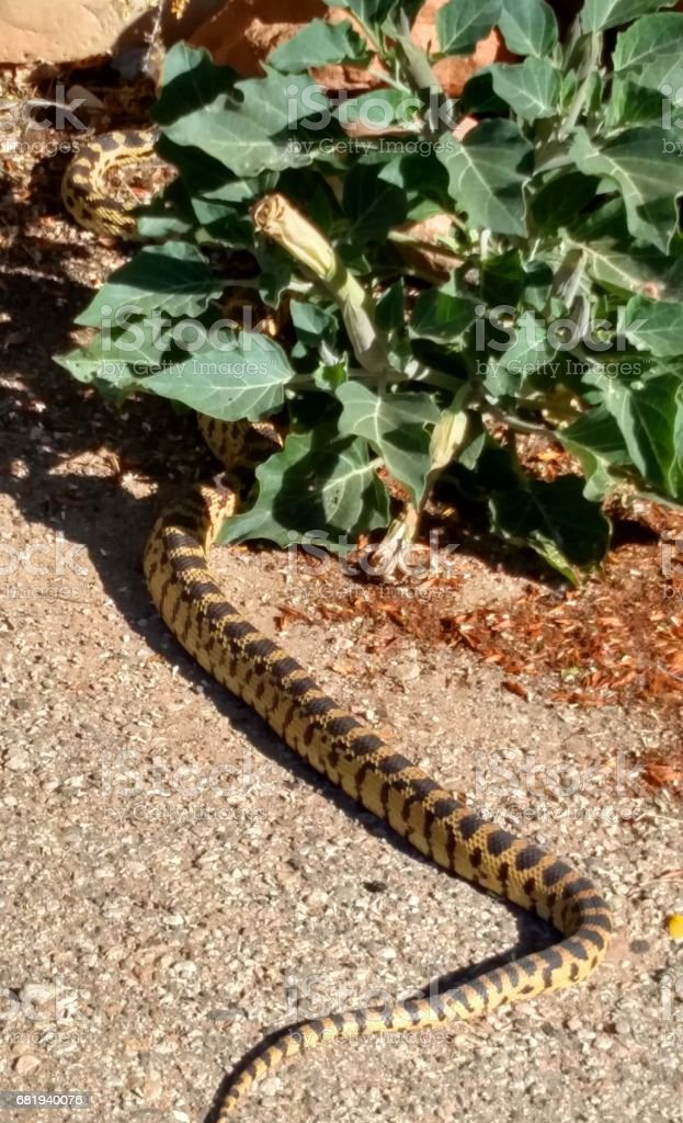 Bull snake crossing road into bush along Grafton Road in Rockville Utah stock photo
