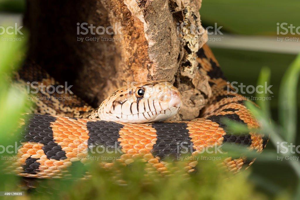 Bull snake in moss stock photo