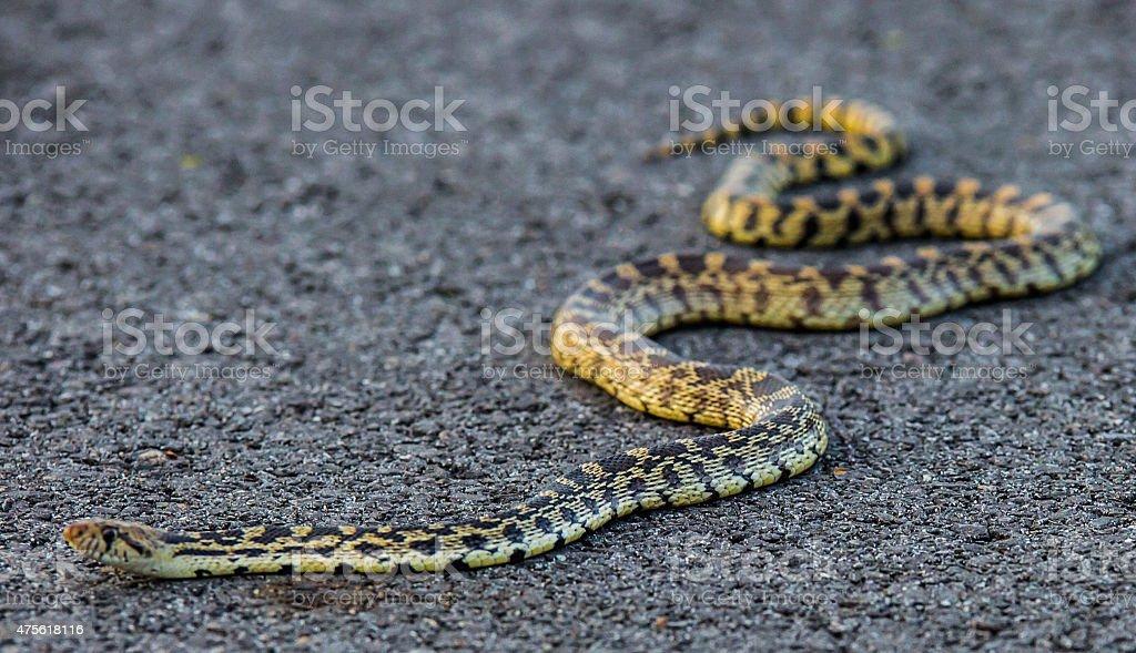 Bull Snake On The Trail stock photo