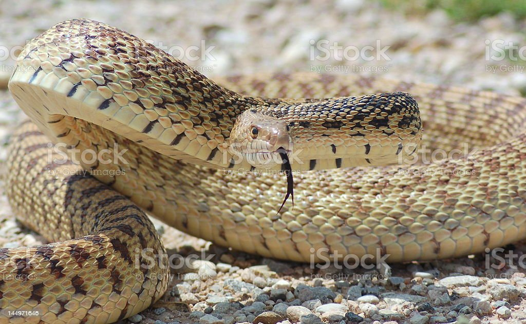Bull Snake royalty-free stock photo