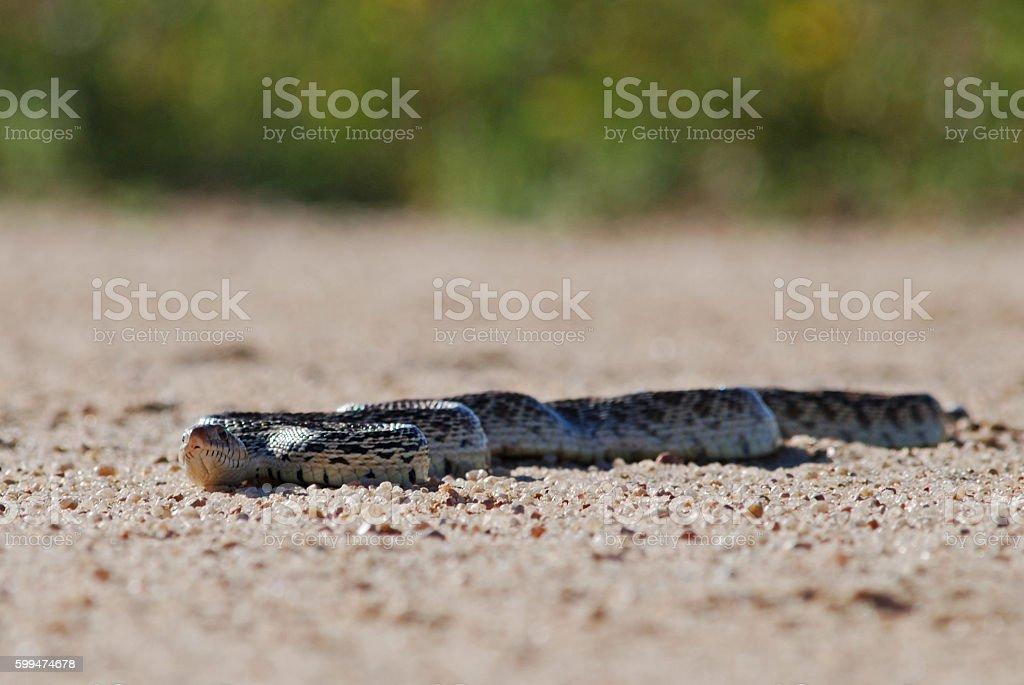 Bull Snake stock photo