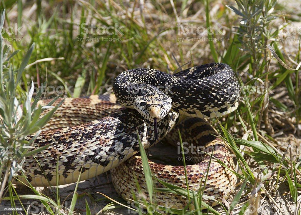 Bull Snake poised to strike stock photo