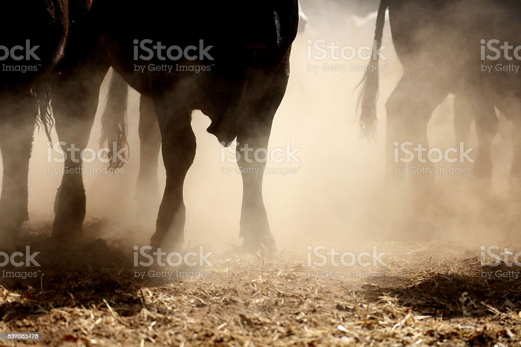 Bull Stampede stock photo