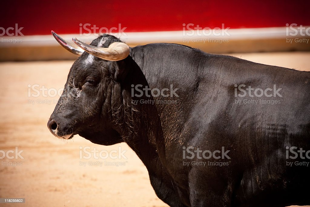 Bull steering calmly in bullring stock photo