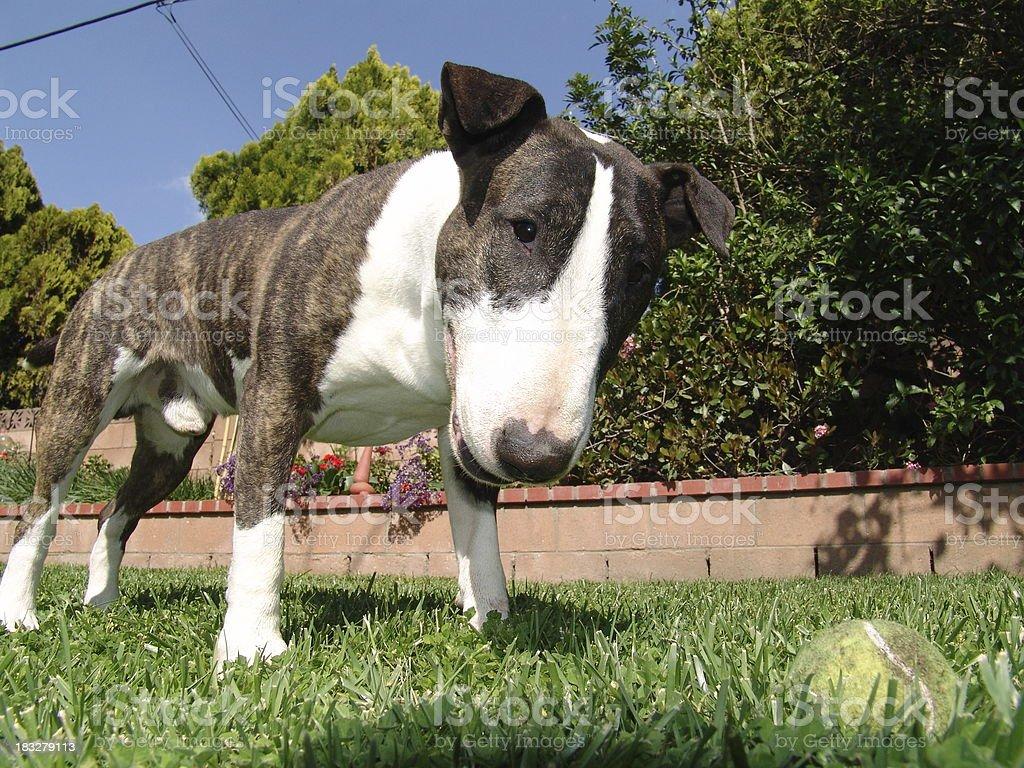 Bull Terrier & Ball stock photo