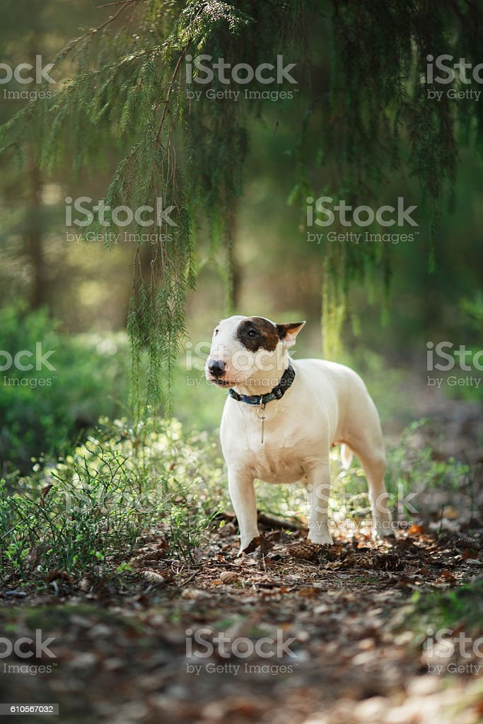 Bull terrier dog walking in the forest stock photo