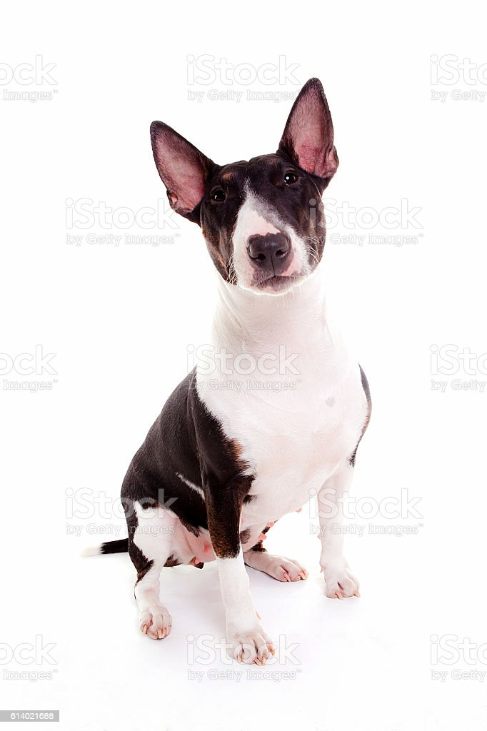 bull terrier in white background stock photo