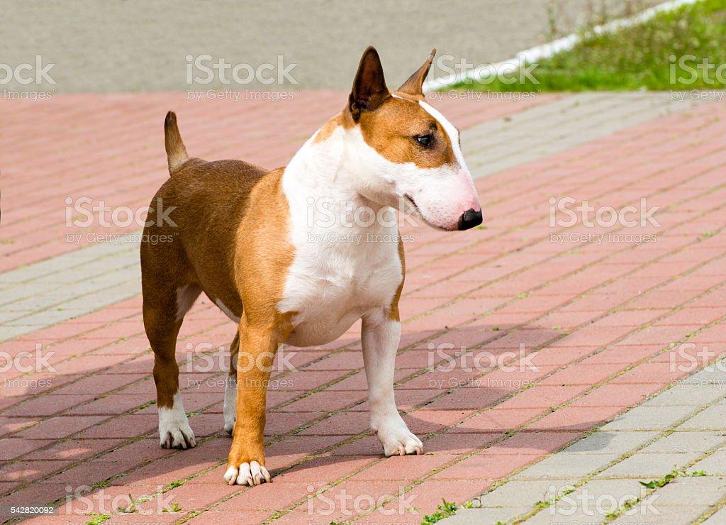 Bull Terrier looks. stock photo
