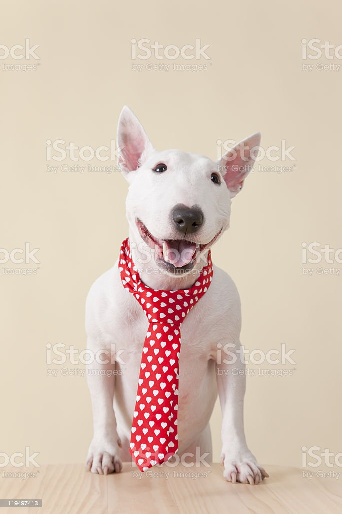 Bullterrier stock photo