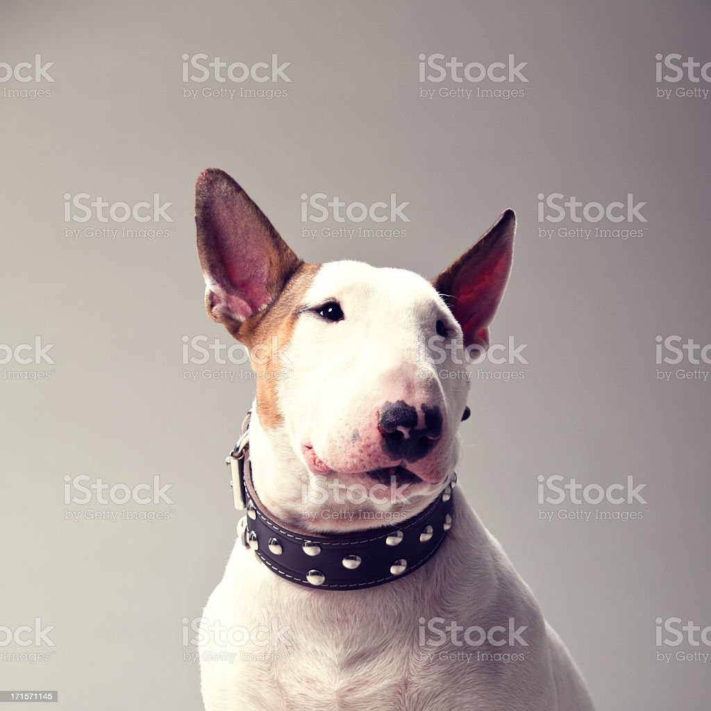 Bull Terrier stock photo