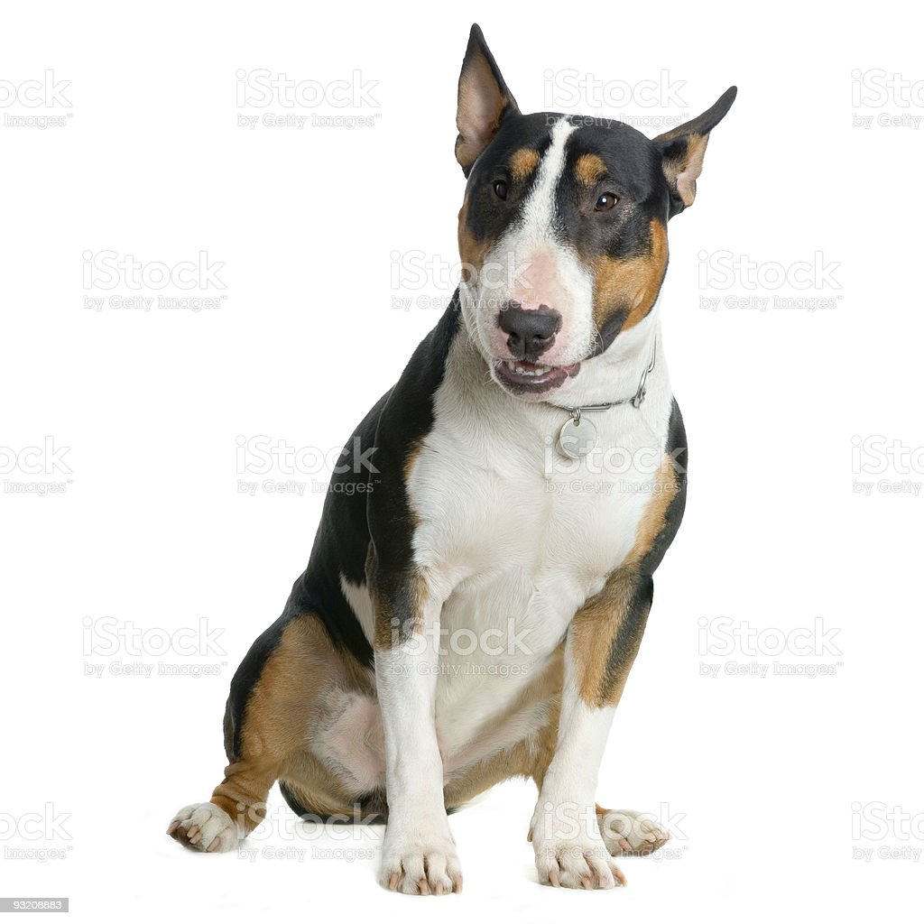 bull terrier stock photo