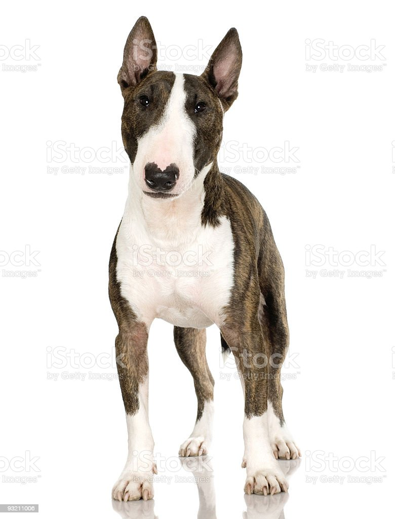 Bull Terrier (2 years) stock photo