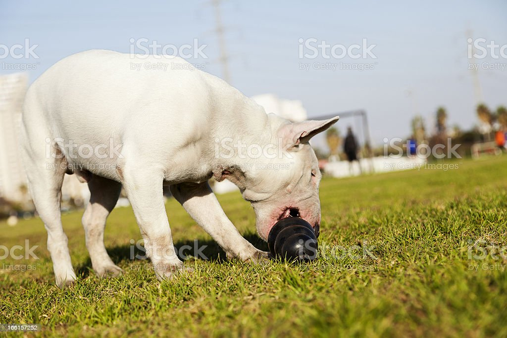 Bull Terrier with Chew Toy in Park royalty-free stock photo