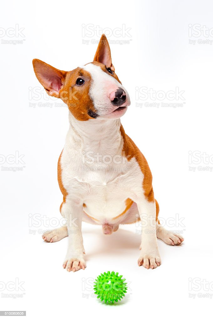 Bull terrier with green ball stock photo