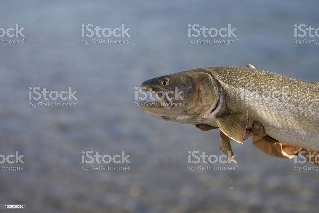 Bull Trout royalty-free stock photo