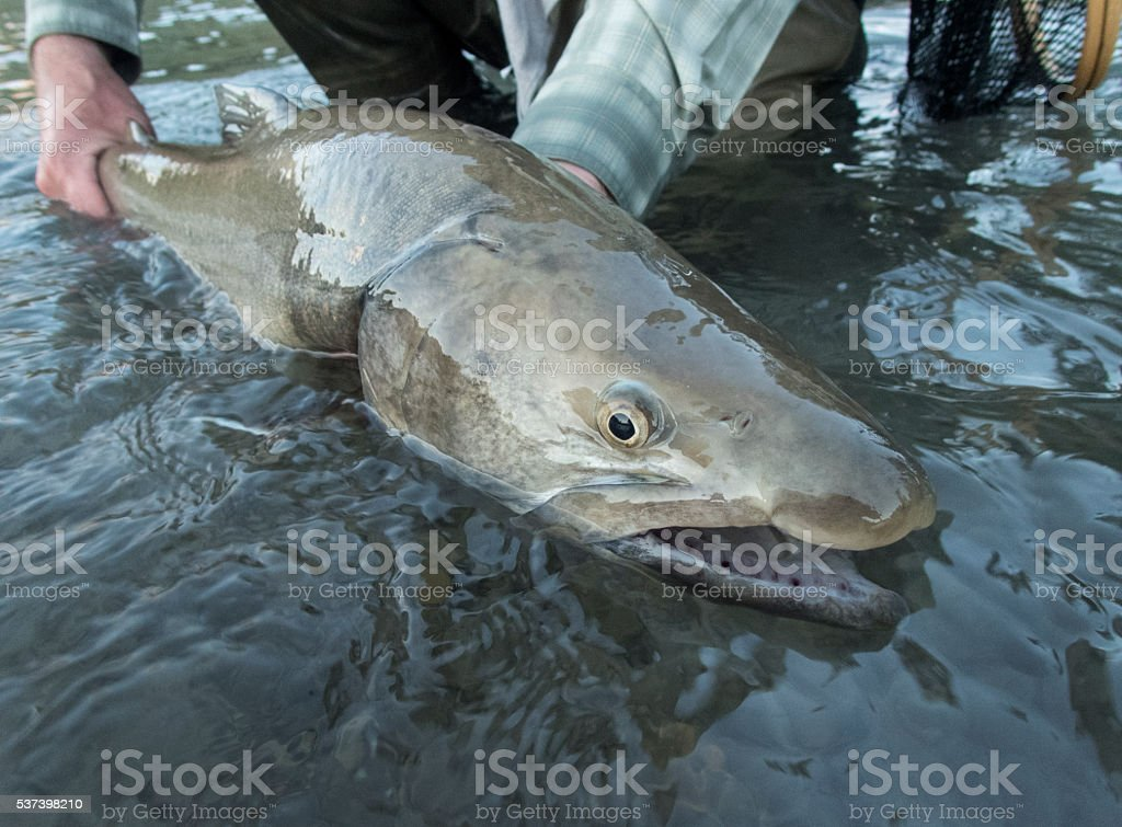 Bull Trout stock photo