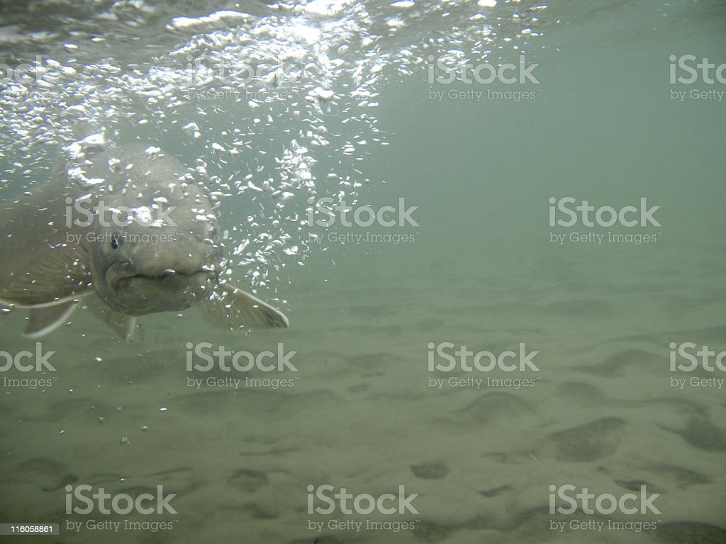 Bull Trout underwater stock photo
