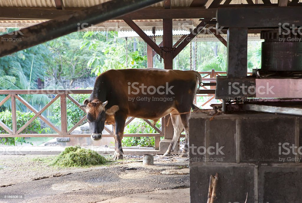 bull who goes around and wrings out juice  sugar cane stock photo