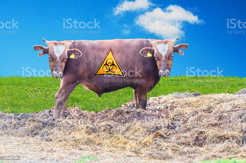 Bull with two heads stock photo