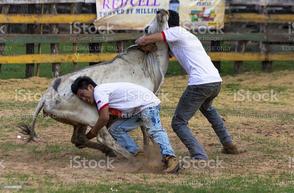 Bull wrestling stock photo