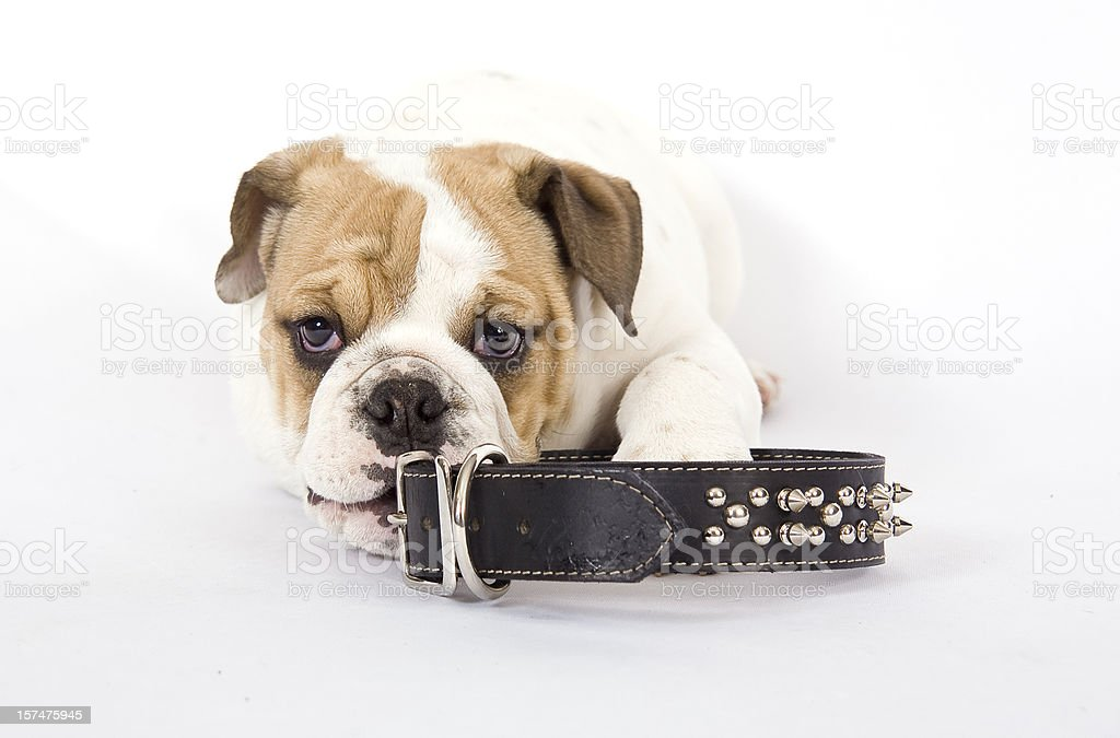 Bulldog And Collar stock photo