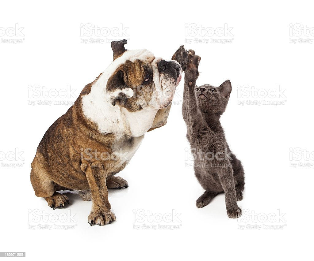 Bulldog and Kitten High Five royalty-free stock photo