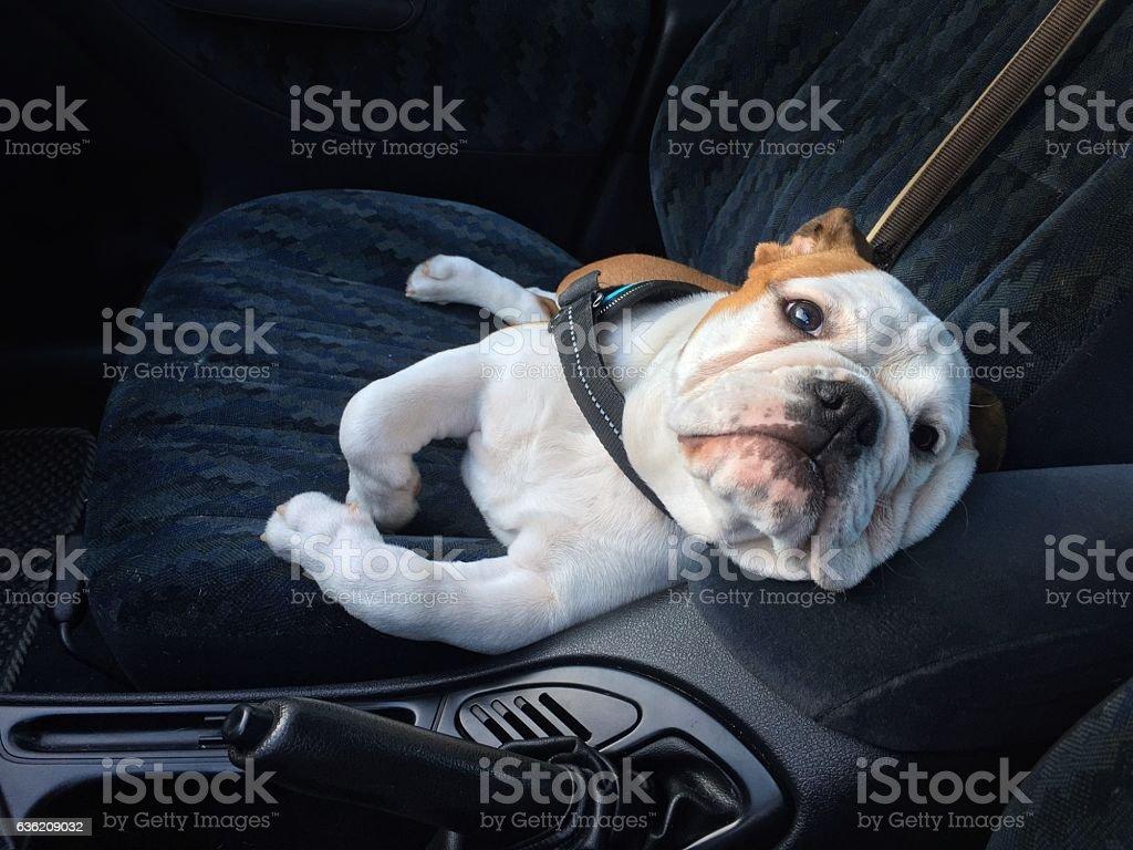 bulldog as a funny comfortable car passenger stock photo