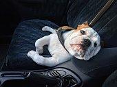 bulldog as a funny comfortable car passenger