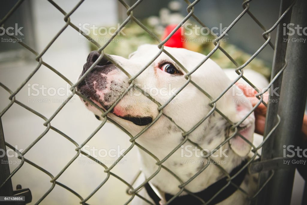 Bulldog Behind Chain Link Fence In Animal Shelter stock photo
