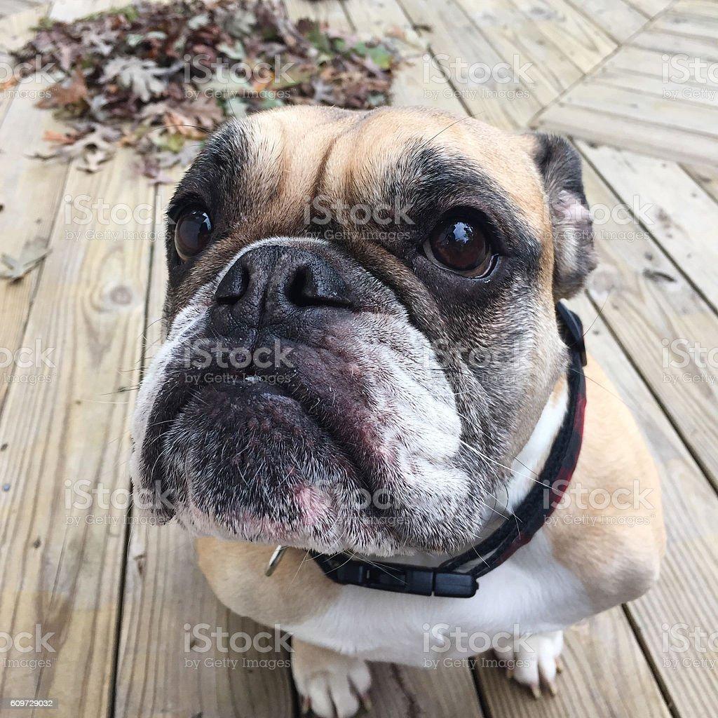 Bulldog Face stock photo