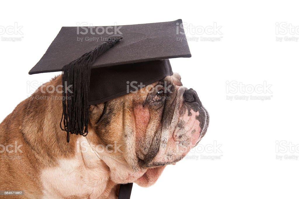 Bulldog Graduation stock photo