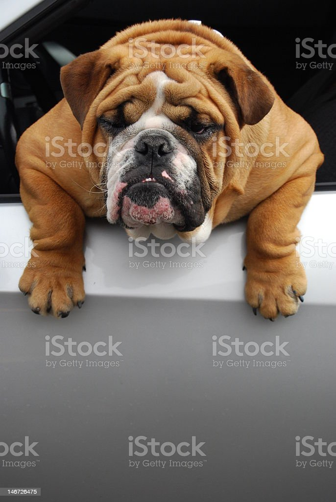 Bulldog hanging out the window of a car. stock photo
