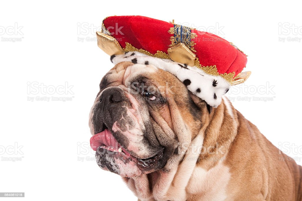 Bulldog King stock photo