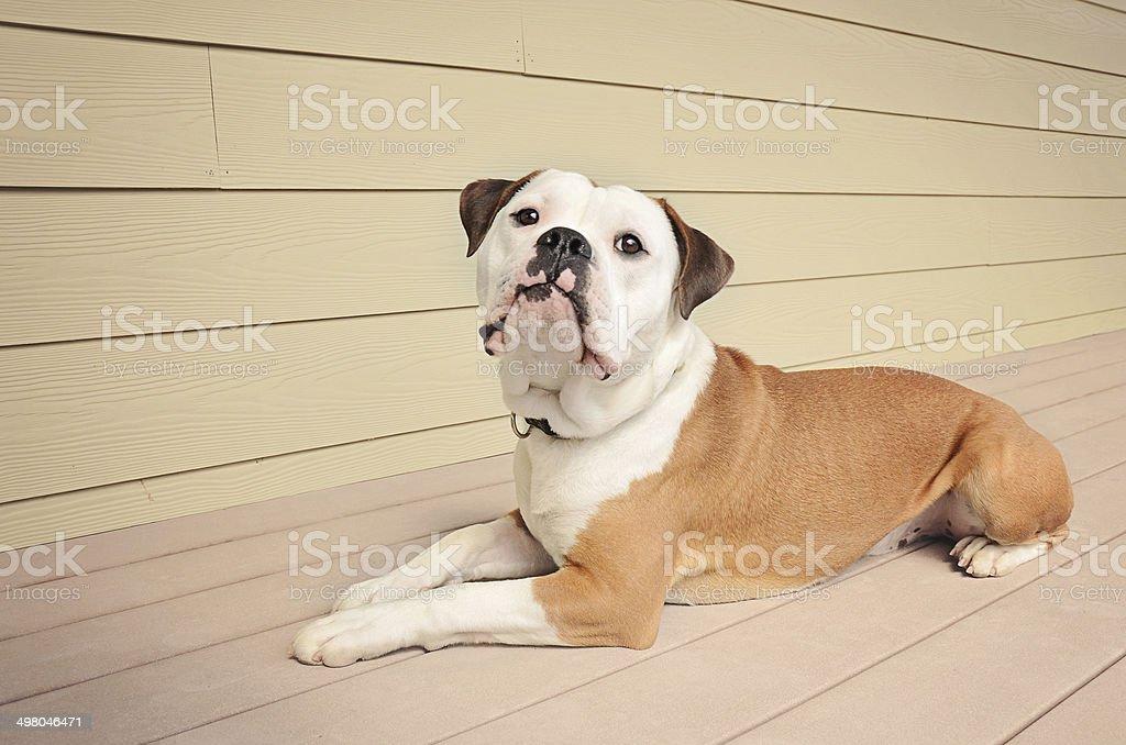 Bulldog laying on an outdoor patio stock photo